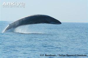 Fin-whale-breaching