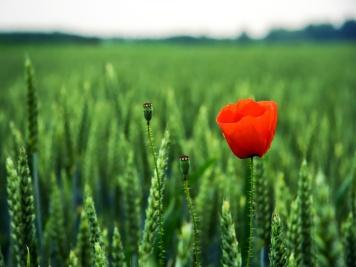 poppy-16001