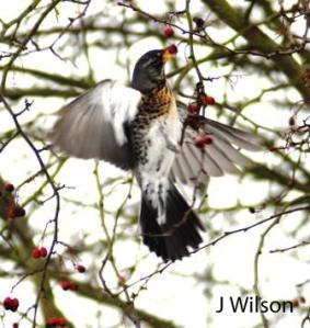 Redwing - Derrington J Wilson  Nikon D80